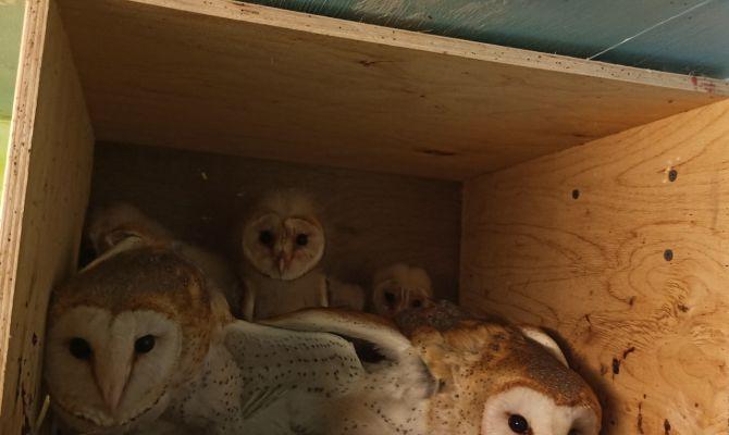 В Тульском Экзотариуме «окольцуют» сов