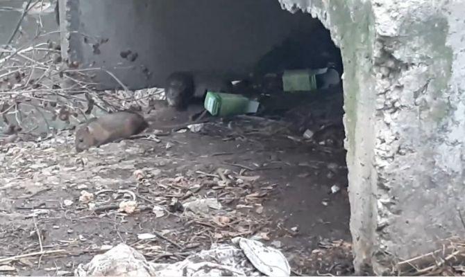 Туляки жалуются на полчище крыс на Красноармейском проспекте